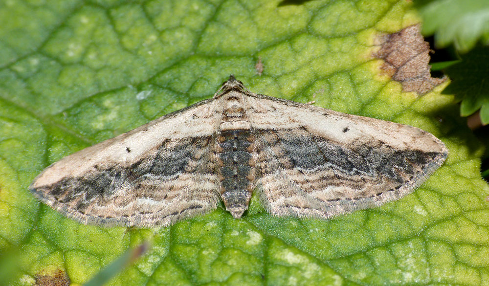 Small Waved Umber, Martin Down