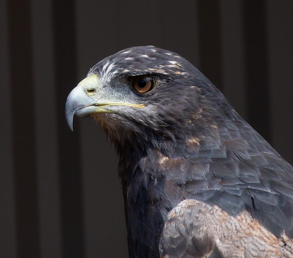 """Chilean Blue Eagle"""