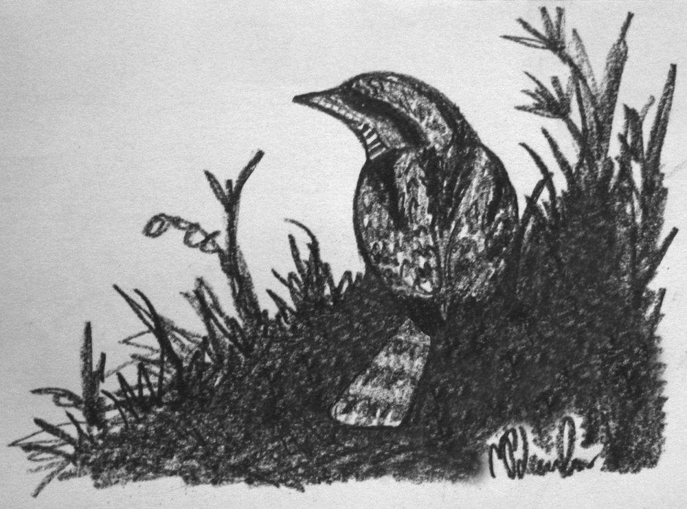 Wryneck sketch