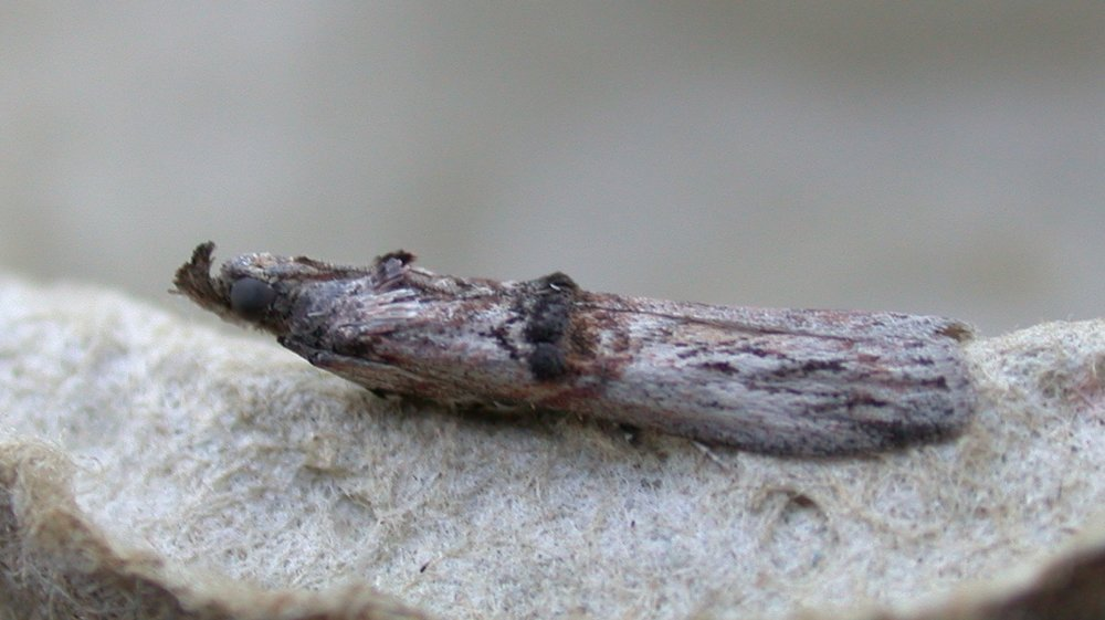 Nephopterix angustella - there were multiple records of this species on Guernsey between 2003 and 2006 but strangely none since then - until now. Some species just come and go.