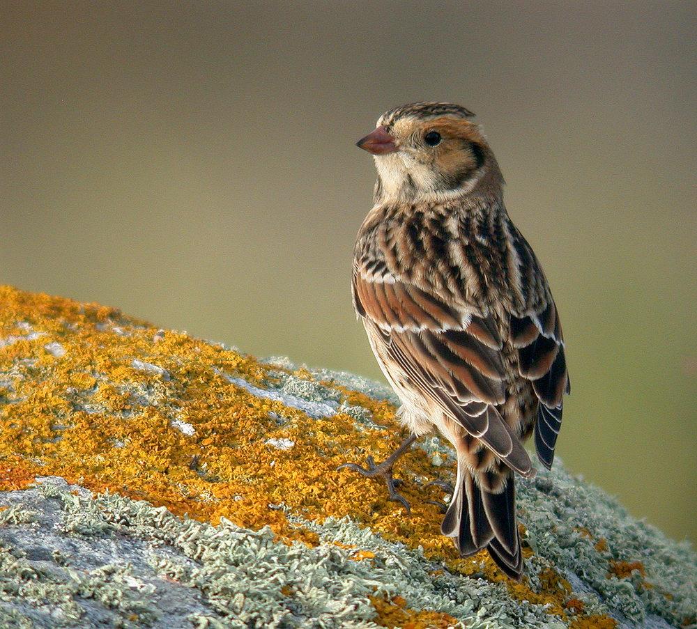 Lapland Bunting - Pulias, 13 Sep 10