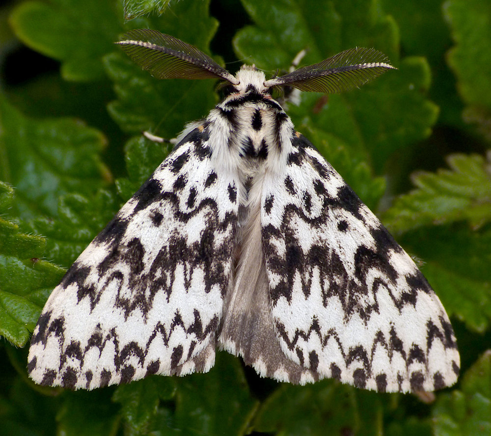Black Arches - Rockbourne
