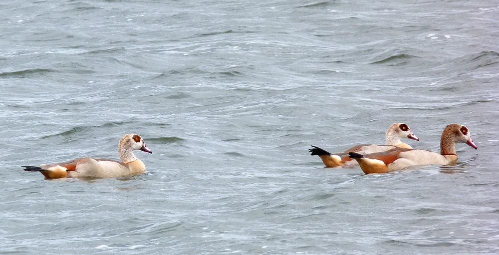 Egyptian Geese - Blashford Lakes