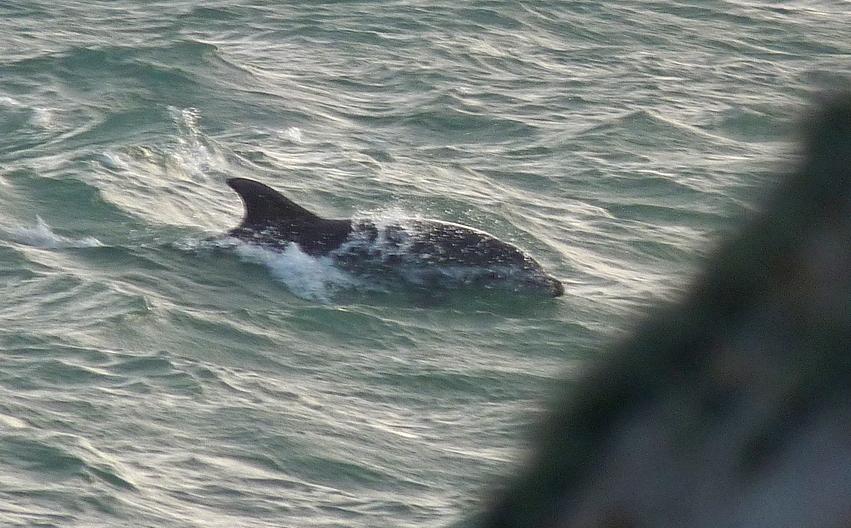 Bottlenose Dolphin - Jaonneuse - 21Aug16