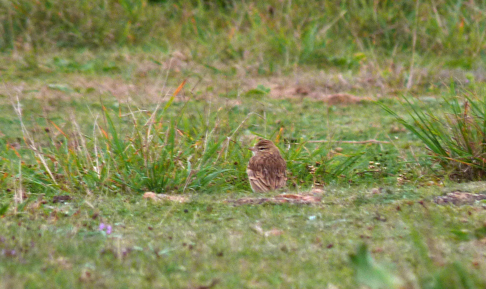Short-toed Lark - Fort Hommet - 15 Sep 16