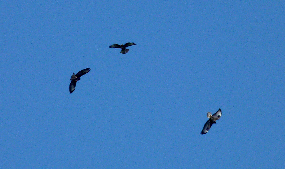 Buzzards - over garden - 1 Sep 16