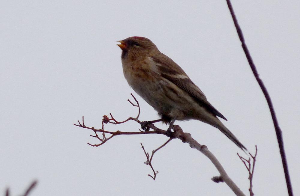 Icelandic Redpoll ssp.- Hveragerði