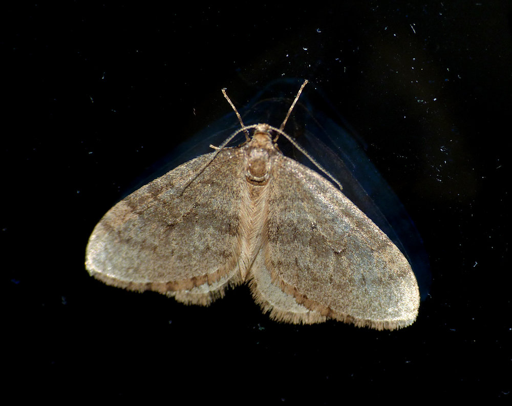 Winter Moth - Reykjavik