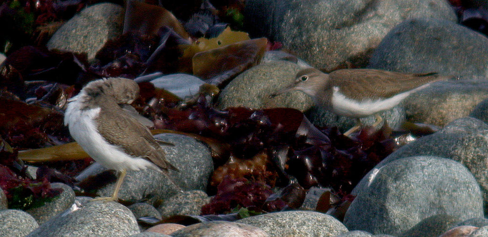 Above is a photo of the bird (left) with a Common Sandpiper (right). Upperpart tone and leg colour show little difference.