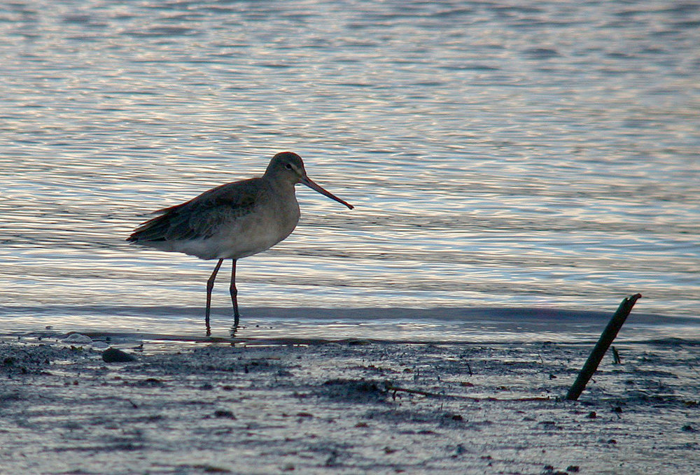 Black-tailed Godwit - Exe estuary