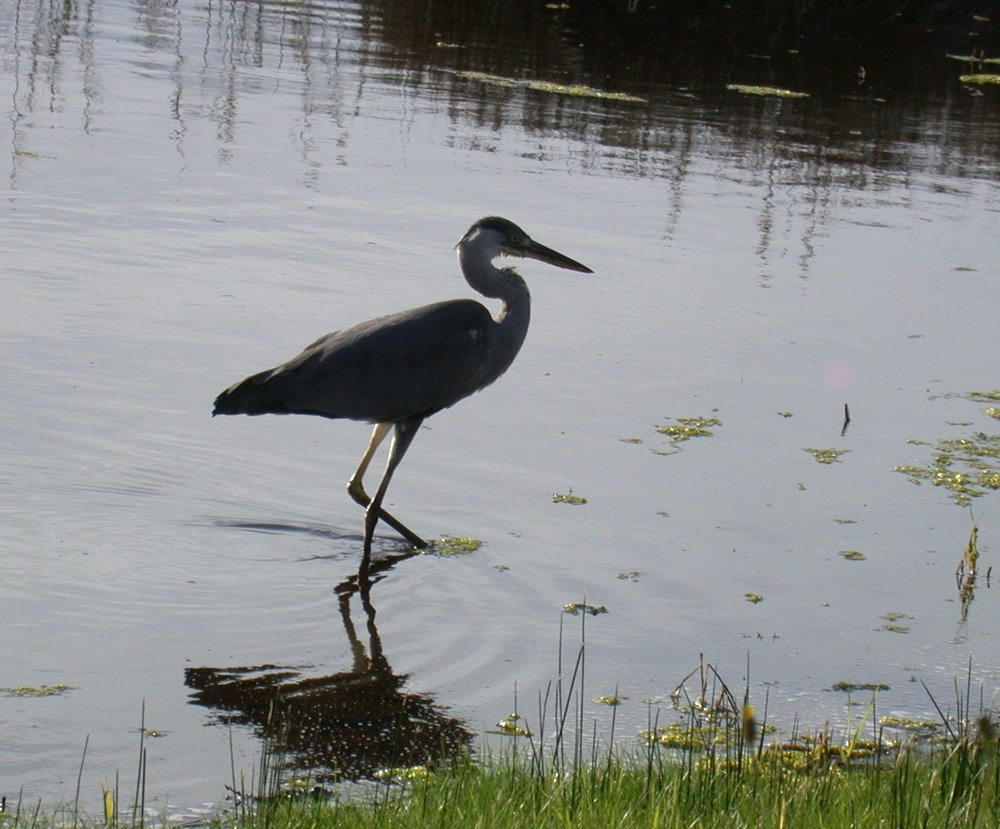 Grey Heron - Lower Moors