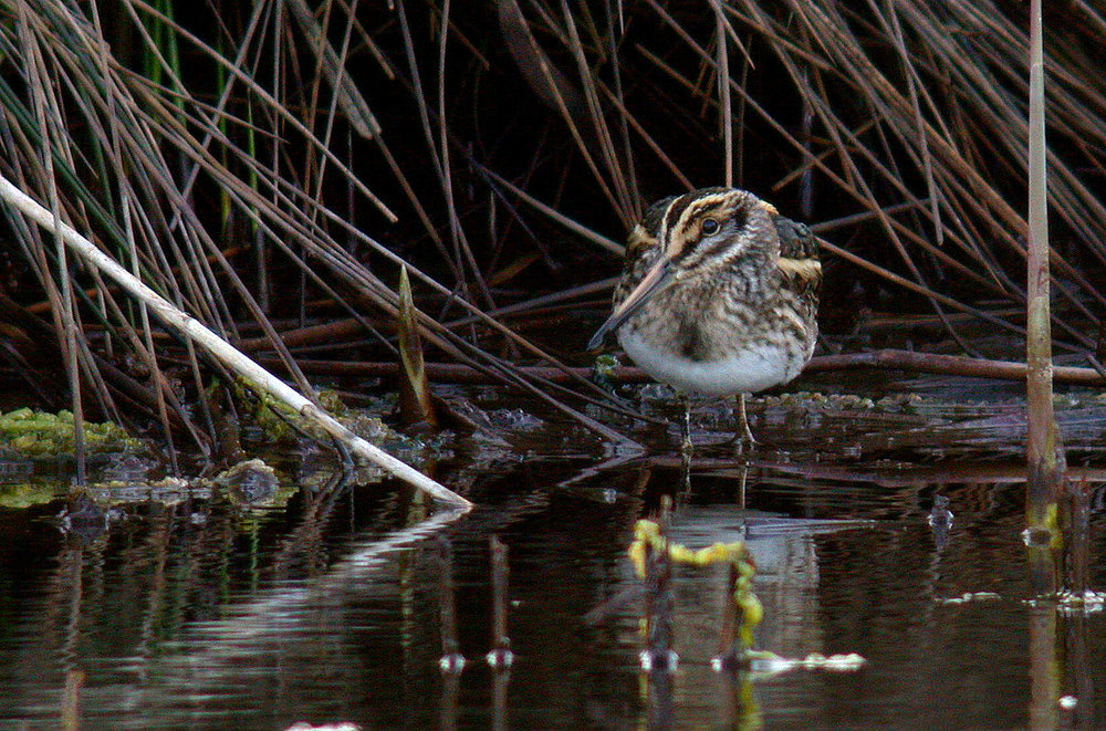 Jack Snipe - Lower Moors