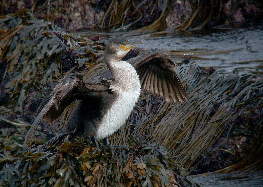 Cormorant - Pelistry