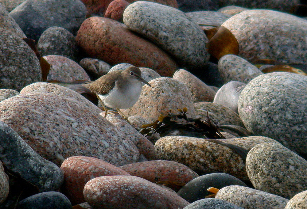 Spotted Sandpiper   , St. Agnes - this photo shows that this bird was quite pale above, with the breast sides very pale and diffuse, with nothing in the middle of the breast. The only barring on the upperparts was on the wing coverts, everything else appearing very plain.