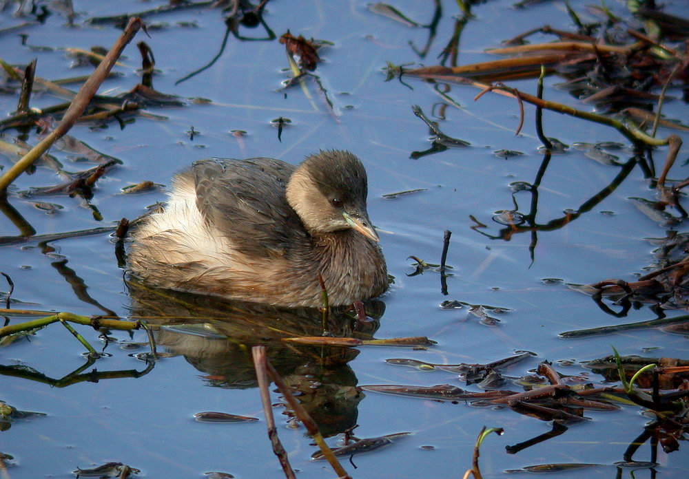Little Grebe - Reservoir - 17 Nov 10