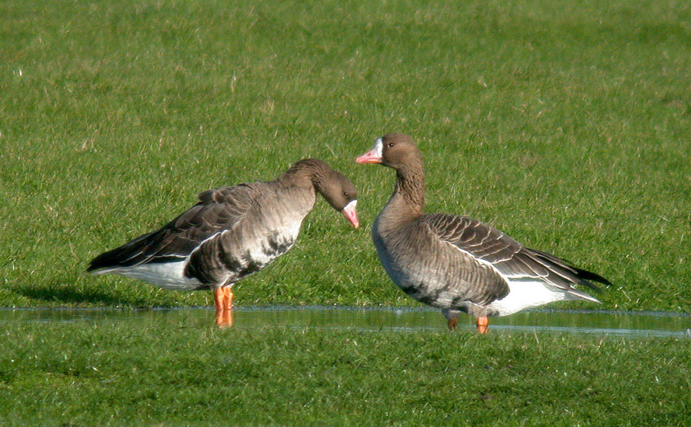 White-fronted GEESE - Old Aerodrome - 3 Dec 10
