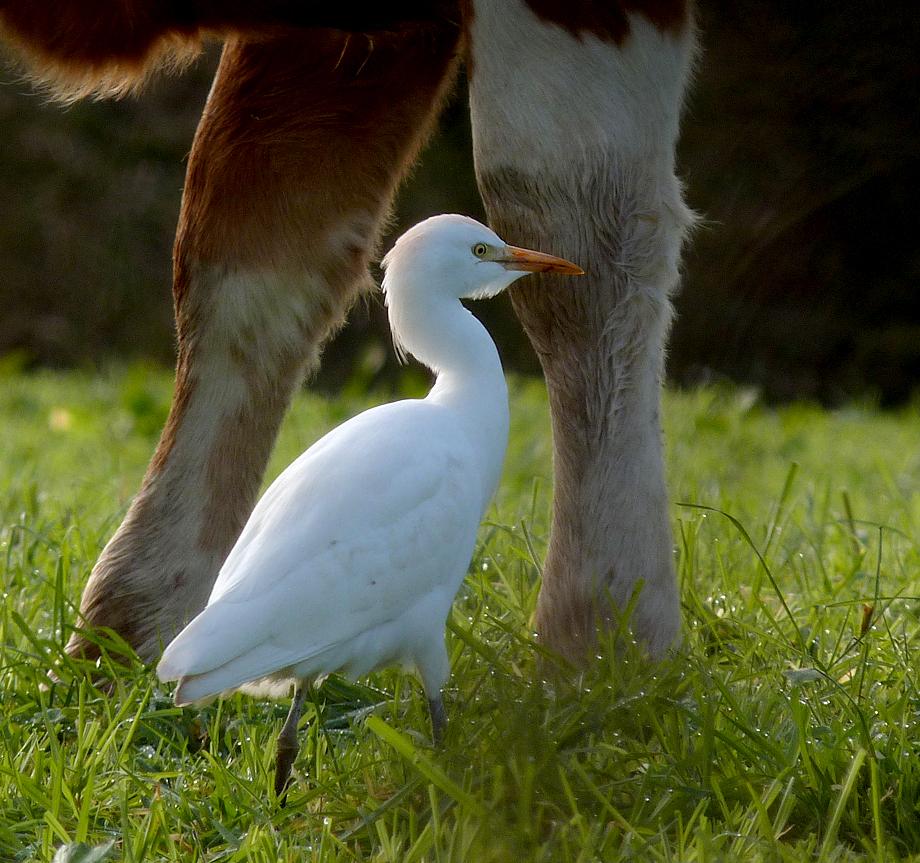 Cattle Egret - Fauxquets Valley - 22 Dec 16