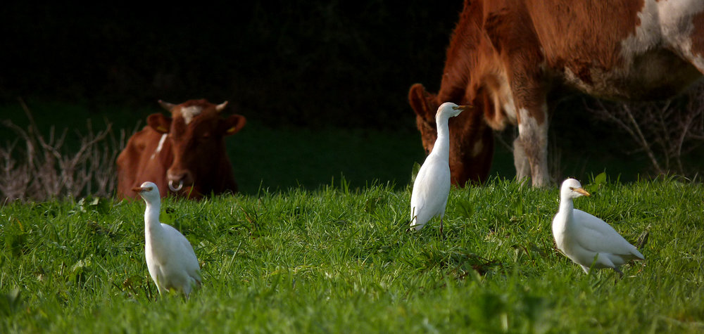 Cattle Egrets - Fauxquets Valley - 22 Dec 16