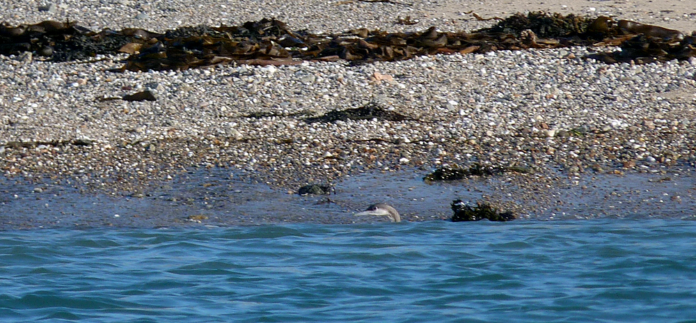 Black-throated Diver - Les Amarreurs - 22 Dec 16 - this photo shows just how close the diver was to the shore.