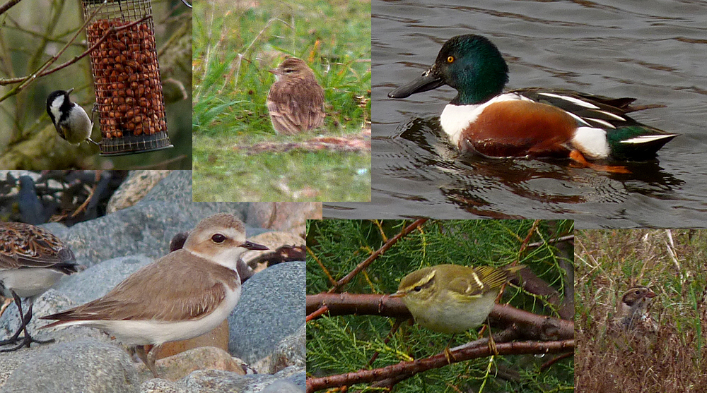 Photographed highlights of the patch in 2016 - Coal Tit, Short-toed Lark, Shoveler, Kentish Plover, Yellow-browed Warbler, Lapland Bunting