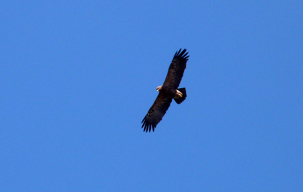 Lesser Spotted Eagle over the roadside in Poland in April