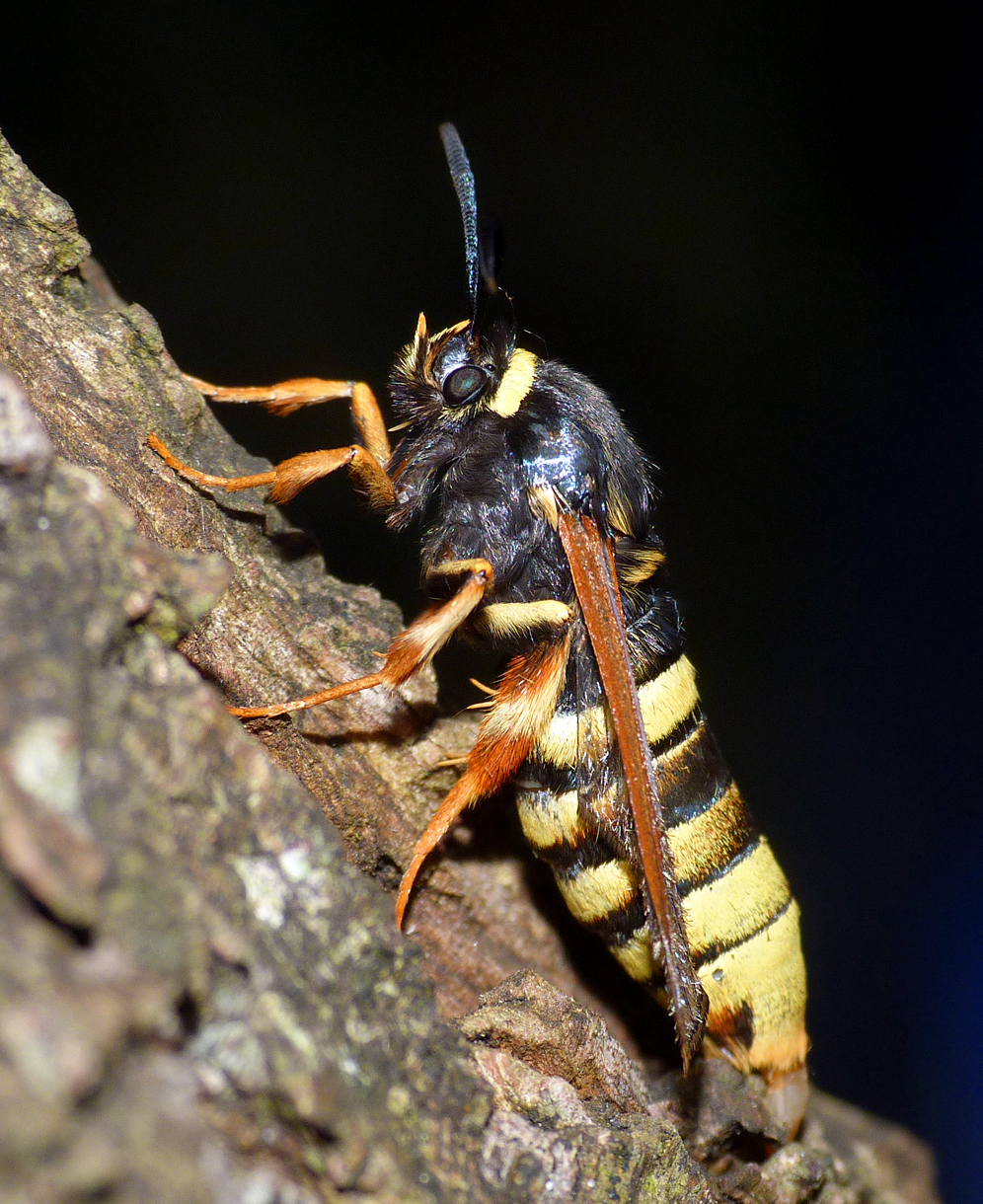 Lunar Hornet Moth at L'Ancresse in July