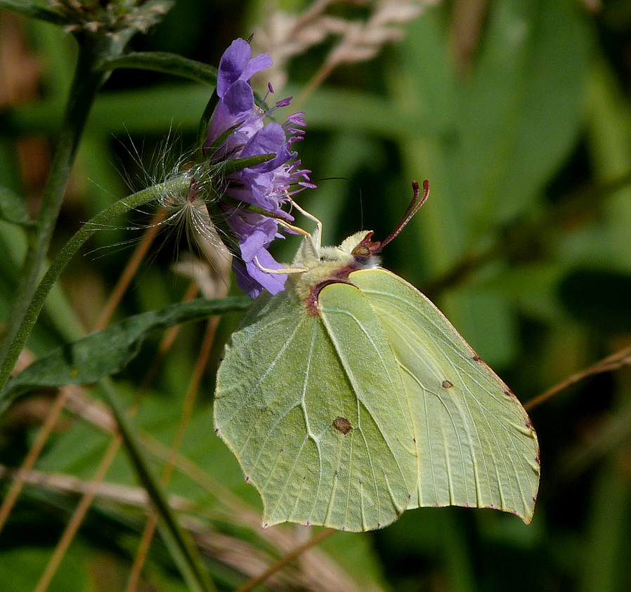 Brimstone on Scabious at Martin Down in July