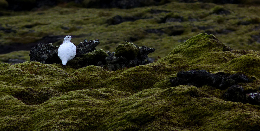 Ptarmigan in Iceland in October