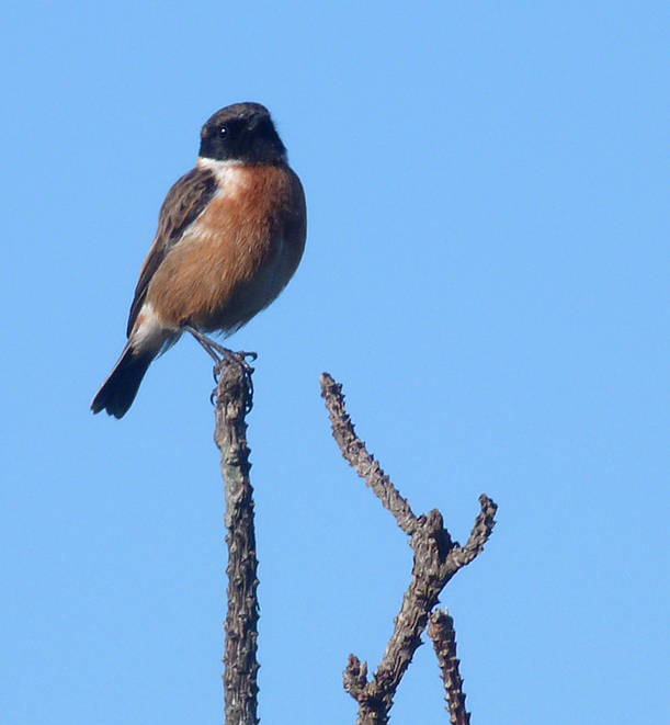 Stonechat, Ft Hommet, 23 Jan 17