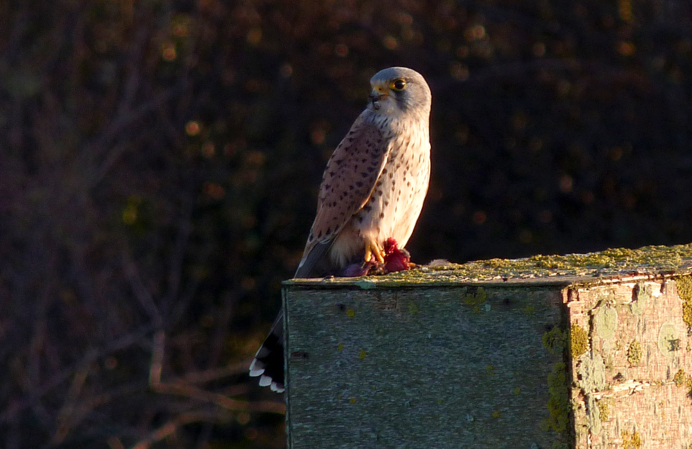 Kestrel, Pulias, 24 Jan 17