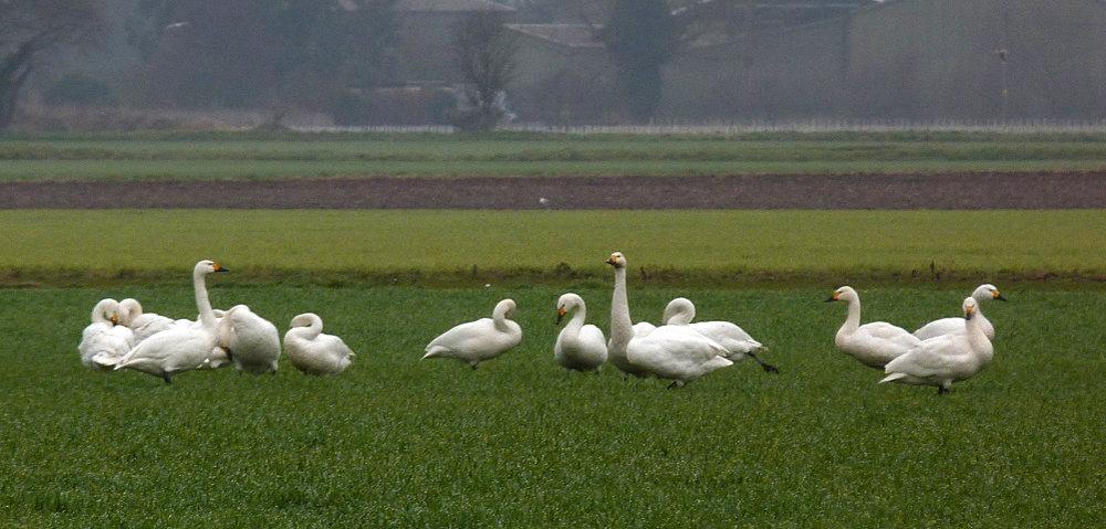 Bewick's Swans - Ludham Airfield