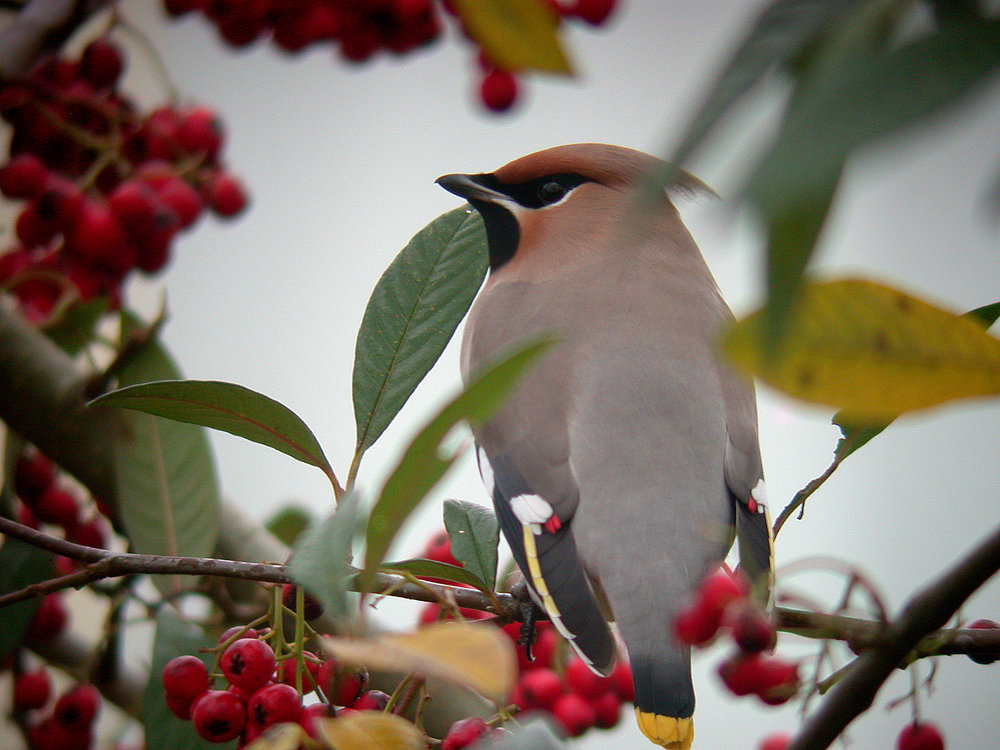 Waxwing - Highland Est - 29 Dec 10