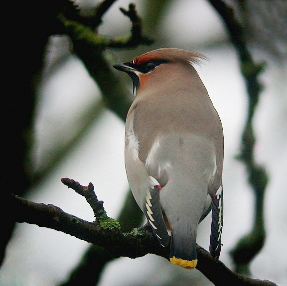 Waxwing   , Rue Cohu, 5 Jan 11 - looking a bit wet, note the raindrop on the right primaries