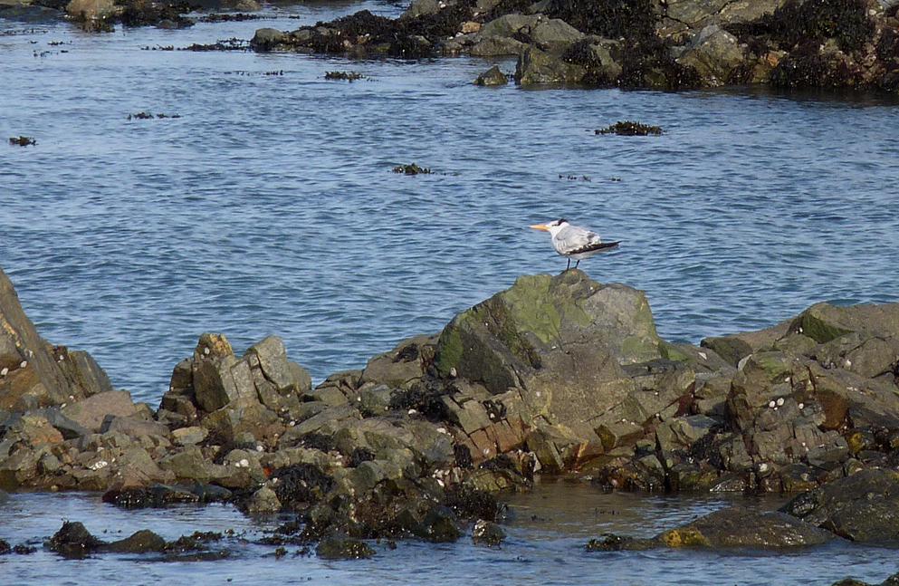 Royal Tern - Salerie, 8 Feb 17