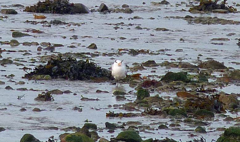 Royal Tern - Grandes Havres, 12 Feb 17
