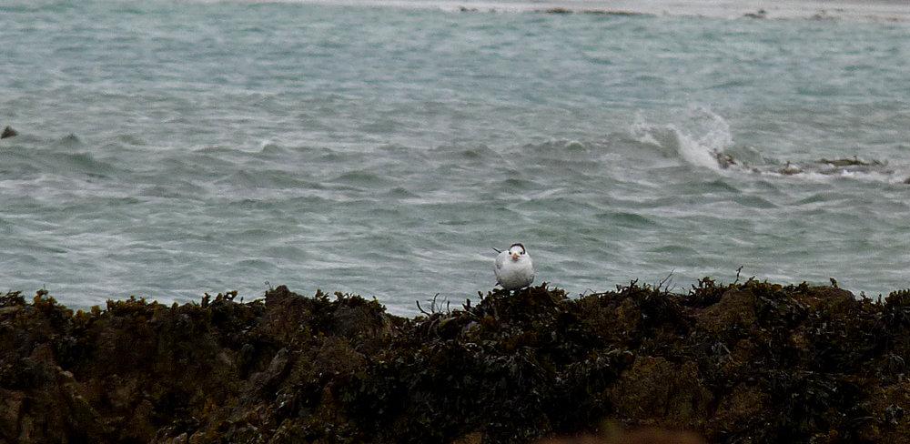 Royal Tern - Vazon, 26 Feb 17