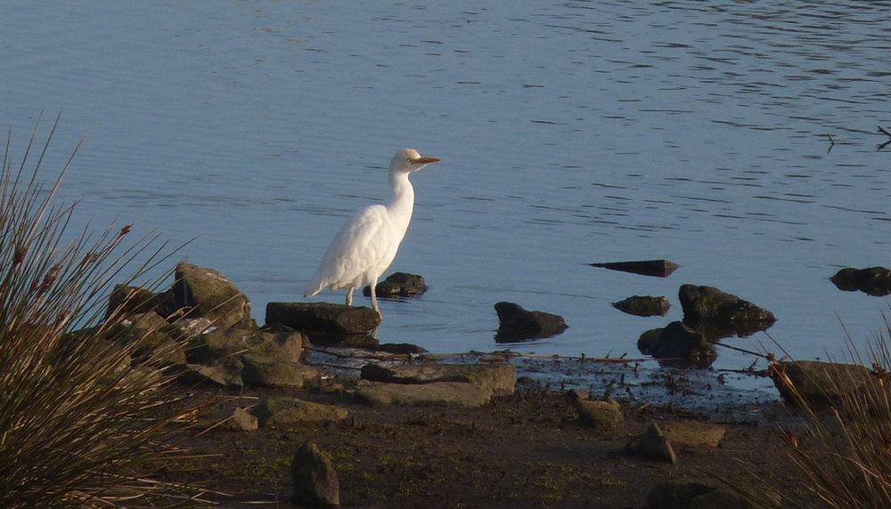 Cattle Egret - Vale Pond, 16 Feb 17