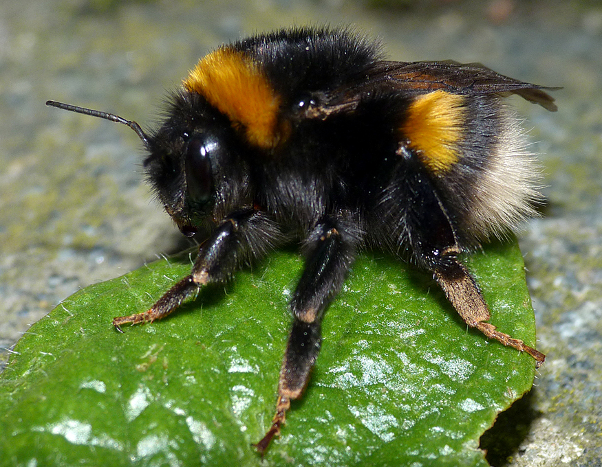 Buff-tailed Bumblebee - Garden, 4 Mar 17 - emerging from its winter slumbers.