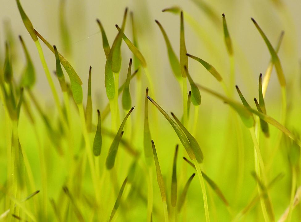 Wall Screw-moss - Garden, 4 Mar 17