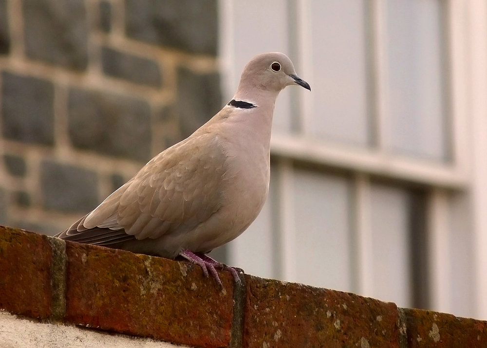 Collared Dove - garden, 13 Apr 17