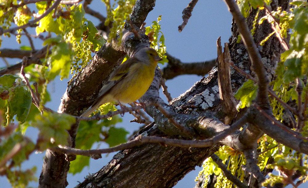 Corsican Finch, Belvedere de Pasciolo Lookout, Vivario