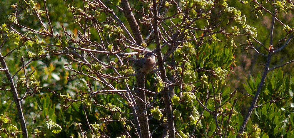 Moltoni's Warbler, Belvedere de Pasciolo Lookout, Vivario
