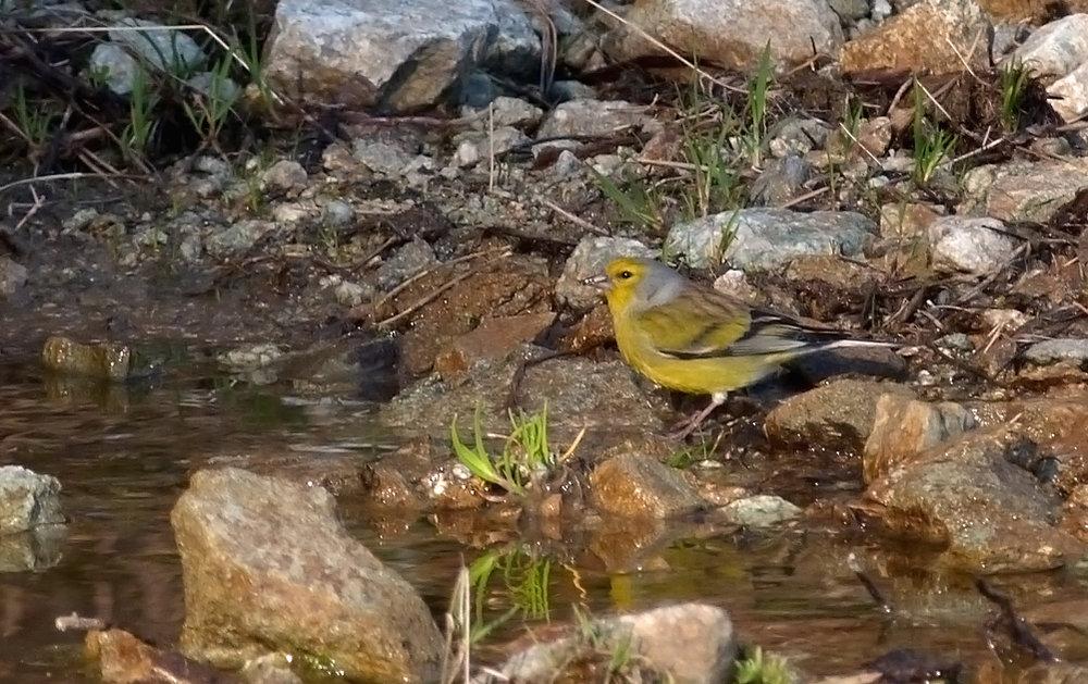 Corsican Finch, near Col de Sorba, Vivario