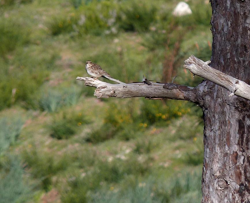 Woodlark, near Col de Sorba, Vivario