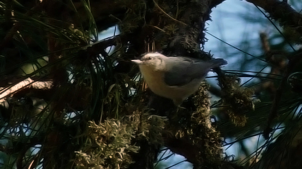 Corsican Nuthatch, near Col de Sorba, Vivario (note that this picture has been heavily photoshopped!)