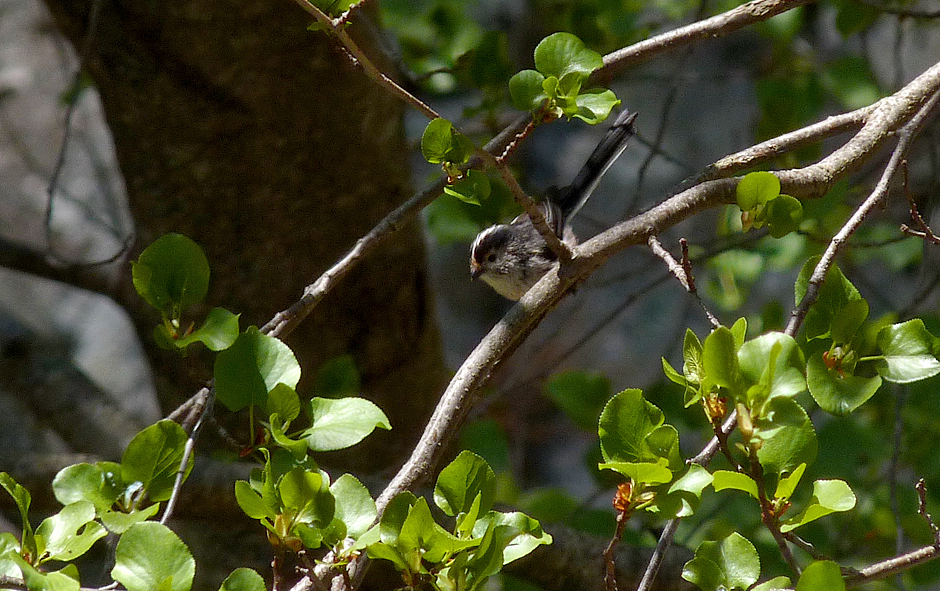 Long-tailed Tit - Restonica Gorge