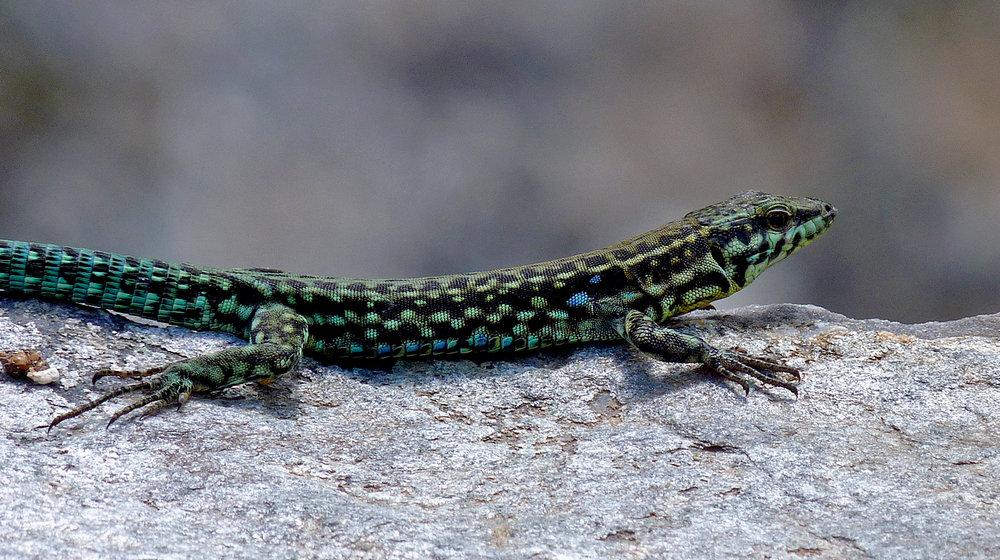 Tyrrhenian Wall Lizard - Restonica Gorge
