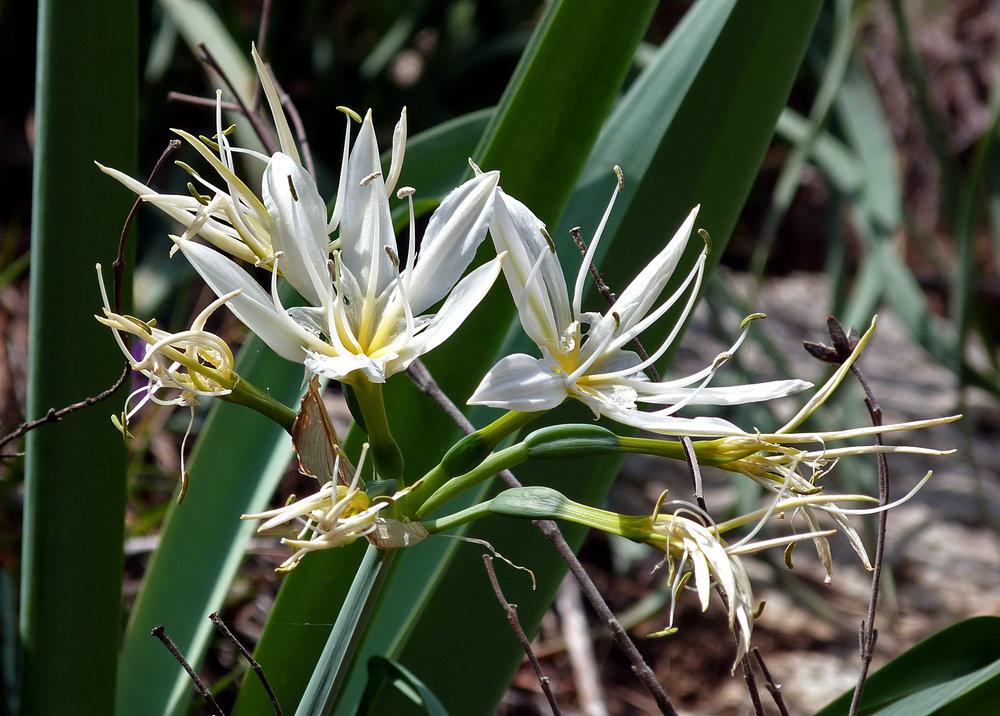Illyrian Star Lily, Pancratium Illyricum, Restonica