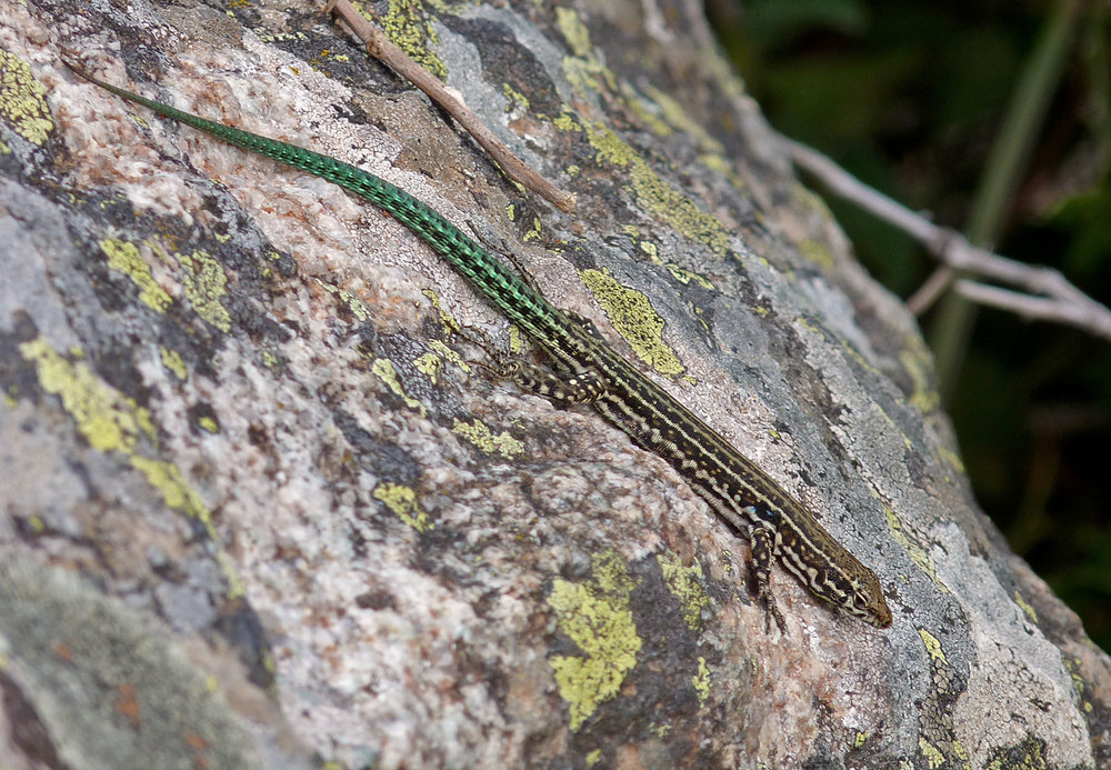 Tyrrhenian Wall Lizard, Restonica