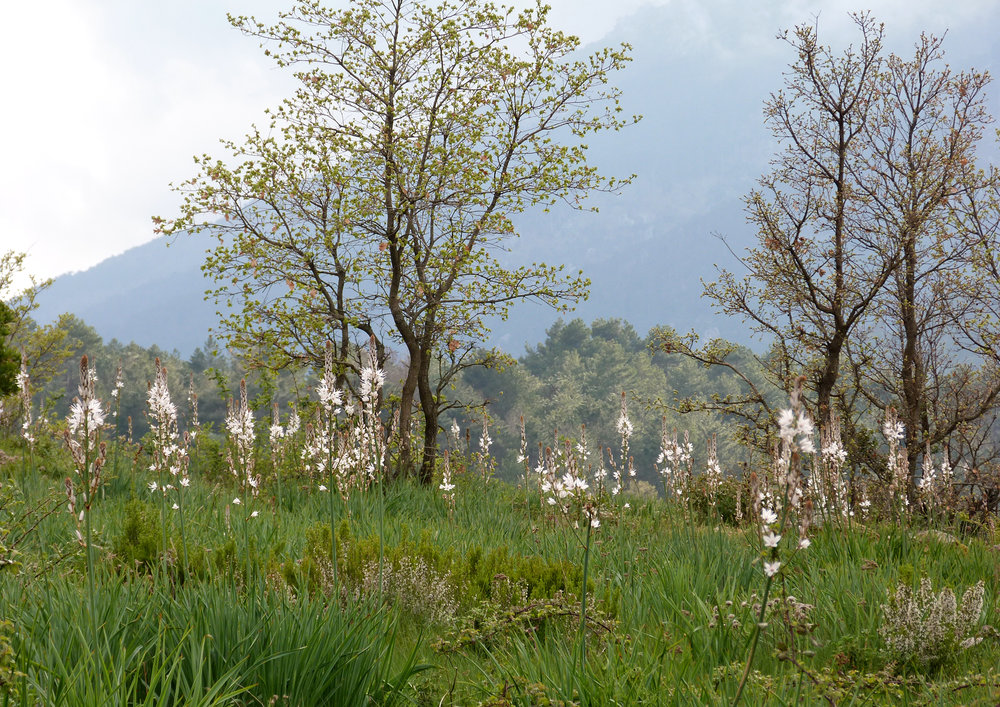 Chalet Hotel meadow with many Asphodel flowers, Vivario